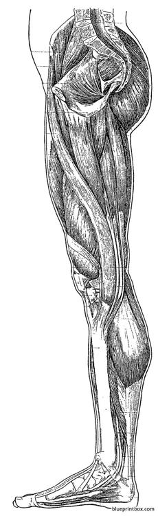 leg side inner muscles overview