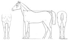 horse 3 view and basic proportion